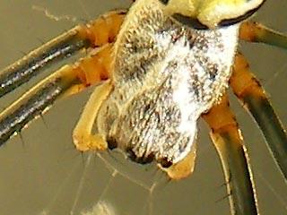 ジョロウグモの頭