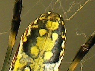 ジョロウグモの尻