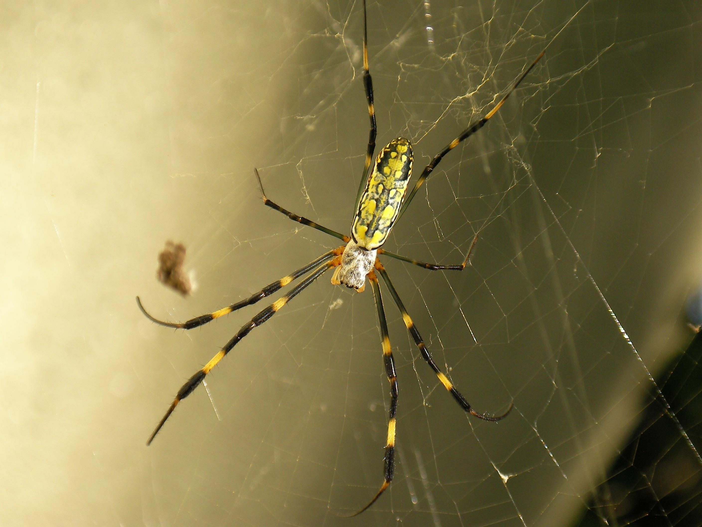 ジョロウグモの画像 p1_40