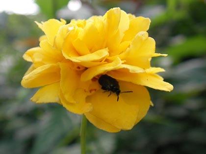 花に潜む甲虫